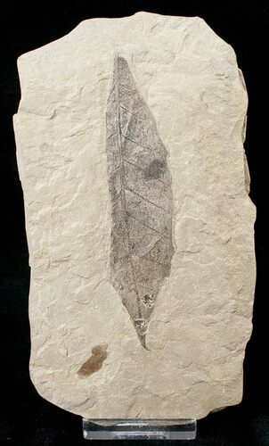 Unidentified Fossil Leaf - Green River Formation