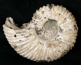 "Buy Thick, 6.2"" Douvilleiceras Ammonite Fossil - Madagascar - #16921"