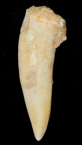 "1.9"" Enchodus Fang - Extinct Bony Fish"
