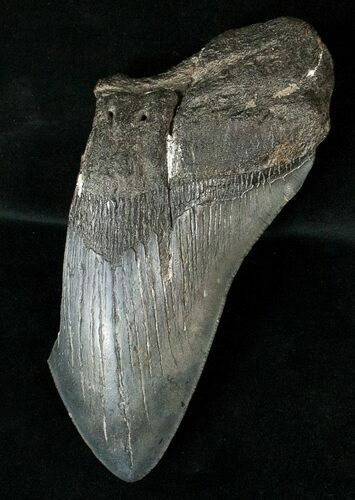 "Partial 5.1"" Fossil Megalodon Tooth"
