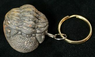 Real Phacops Trilobite Keychain For Sale, #17333