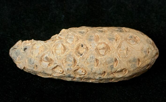 Agatized Fossil Pine (Seed) Cone From Morocco