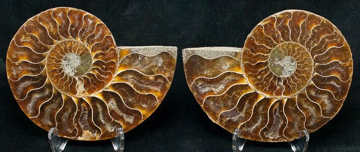 "3.49"" Polished Ammonite Pair - 110 Million Years"