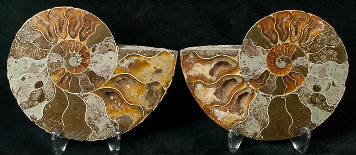 "3.41"" Polished Ammonite Pair - 110 Million Years"