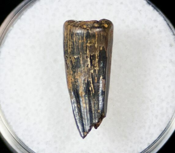 ".67"" Cretaceous Crocodilian Tooth - Judith River"