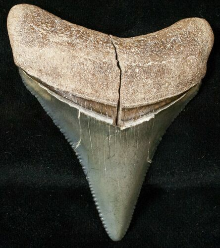 "2.19"" Serrated Bone Valley Megalodon Tooth"