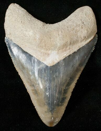 "2.67"" Serrated Bone Valley Megalodon Tooth"