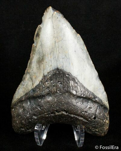 Bargain 4 Inch Megalodon Tooth