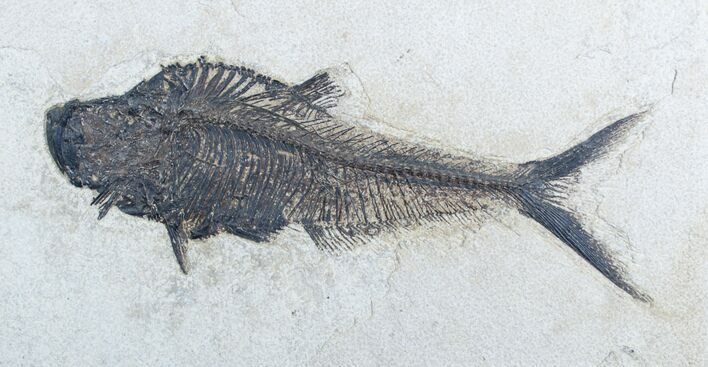 Giant 10 1/2 Inch Long Fossil Diplomystus