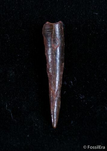 .8 Inch Pterosaur Tooth - Tegana Formation