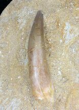 "2"" Fossil Plesiosaur Tooth In Matrix For Sale, #19091"