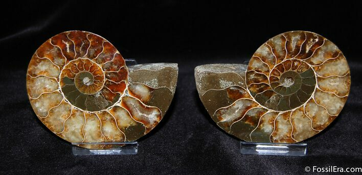 Stunning 3.4 Inch Split Ammonite (Pair)