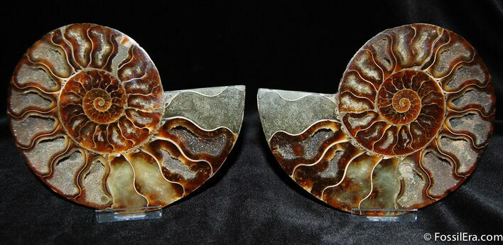 Phenominal 5.4 Cut and Polished Ammonite