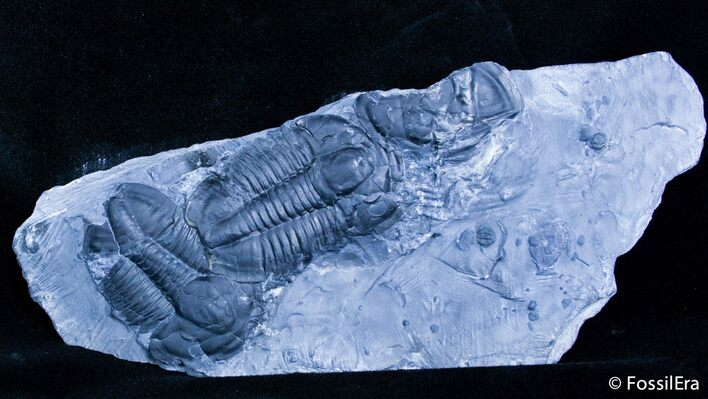 Double Asaphiscus Trilobite Plate From Utah