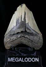 "Buy Bargain 5.25"" Megalodon Tooth - North Carolina - #21652"
