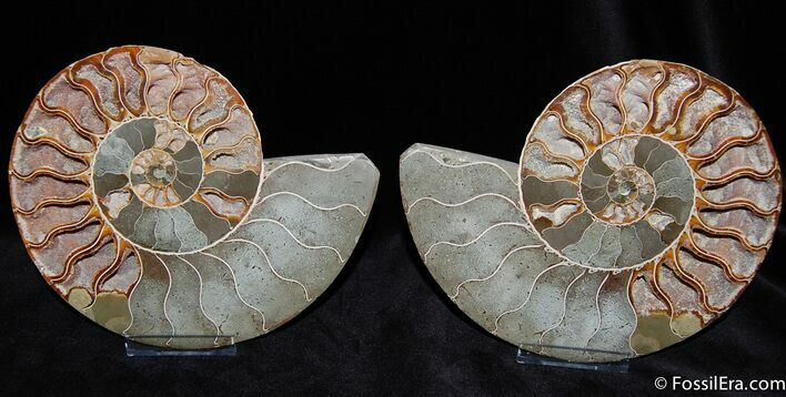 Spectacular 7.5 Inch Split Ammonite Pair - XL