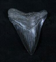 Jet Black 2 3/4 Inch Megalodon Tooth - Beautiful For Sale, #3317