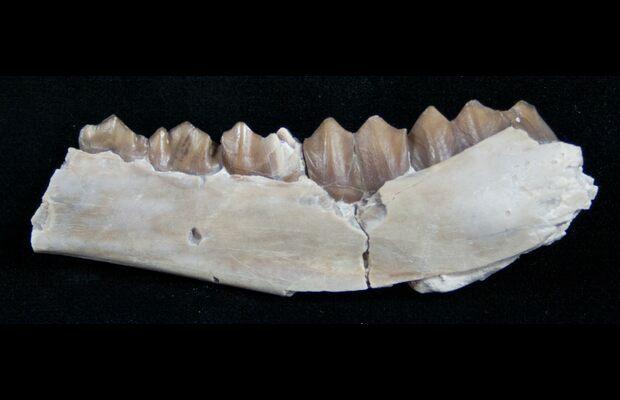 Oligocene Camel (Poebrotherium) Jaw Section